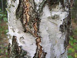 Aspect de l'écorce de Betula pendula à la base du tronc