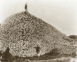 Impacts environnementaux de la cynégétique: vers 1875, pile de crânes de bisons destinés à la fabrication d'engrais. Parfois les cadavres étaient abandonnés dans la prairie, simplement dépouillés de leur fourrure.
