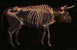 Aurochs (Bos primigenius). Squelette d'Aurochs datant de 7500 avant notre ère