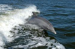 Un grand dauphin (tursiops truncatus)