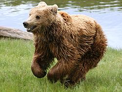 Ours brun (ici sous-espèce Ursus arctos arctos)