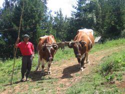 Deux bœufs attelé avec un joug de cornes