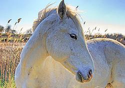 Cheval gris (Equus caballus) de race Camargue