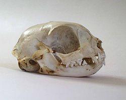 Crâne de chat