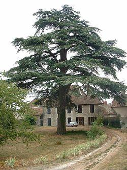 Cèdre du Liban (Cedrus libani)
