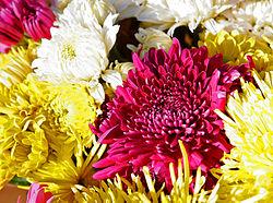 Chrysanthemum ×morifolium