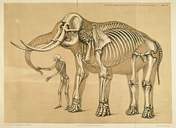 Ossatures comparées de l'homme et de l'éléphant. Hawkins, 1860