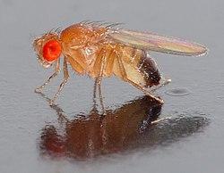 Drosophile (Drosophila melanogaster)