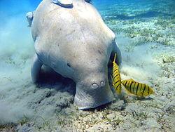 Un dugong à Marsa Alam