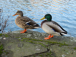 Couple: Femelle à gauche et mâle à droite