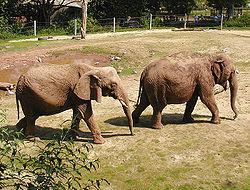 Un �l�phant d'Afrique (� gauche) et un �lephant d'Asie (� droite)