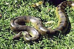 grand anaconda (Eunectes murinus)