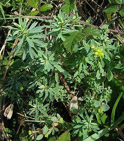 Euphorbia portlandica, l'euphorbe des estuaires