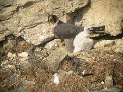 Un faucon pèlerin et son petit, en France