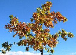 Feuilles d'érable en automne à Toulouse.