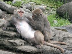 Macaques de Formose (Macaca cyclopis)