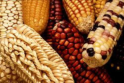Biodiversité intraspécifique observée sur ces épis de maïs