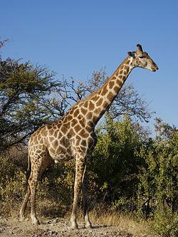 Giraffa camelopardalis angolensis mâle