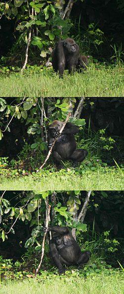 Une femelle gorille utilisant un outil (ici un bâton) pour se stabiliser dans une zone marécageuse et ainsi ramasser de sa main libre des herbes aquatiques (2005)