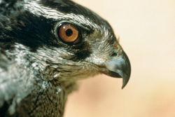 Autour des palombes (Accipiter gentilis)