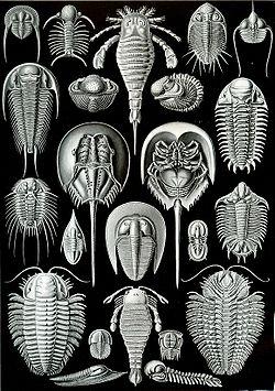 Planche du zoologiste Ernst Haeckel qui introduisit l'opposition entre symétries bilaterale  et radiaire dans le règne animal