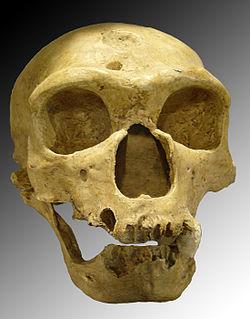 Crâne de Néandertalien: l'Homme de la Chapelle-aux-Saints.