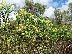 Buisson d'ambaville: fleurs et fruits