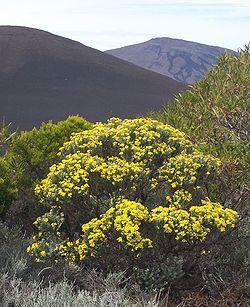 Buisson en fleurs devant le Piton de la Fournaise
