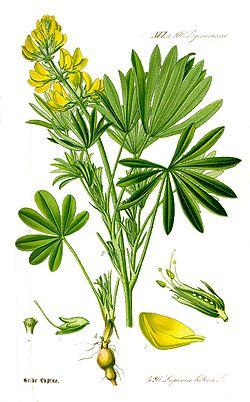 Lupinus luteus