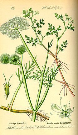 Helosciadium inundatum (à droite)
