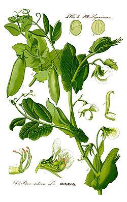 Pisum sativum