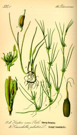 Zostera noltii (A 1-4) et Zannichellia palustris (B)