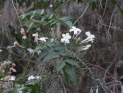 Fleurs de jasmin blanc (J. polyanthum)