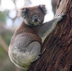 Koala (Phascolarctus cinereus)