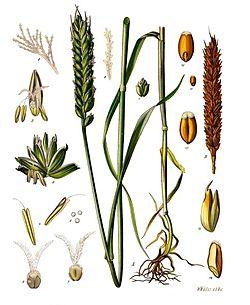 Triticum aestivum ssp. aestivum