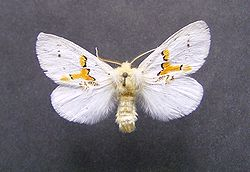Leucodonta bicoloria