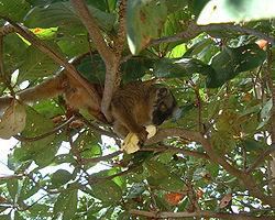 Eulemur fulvus mayottensis de Mayotte