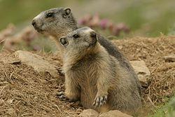 Marmotte des Alpes (Marmota marmota) dans les Alpes françaises