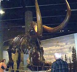 Squelette de Mastodonte exposé au musée de Bismarck