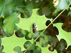 Abeille «découpeuse» (ici Megachile rotundata découpant des feuilles d'Acacia)