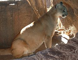 Un puma (Puma concolor)