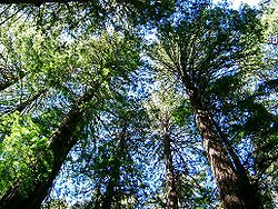 Séquoias à Muir Woods, Californie