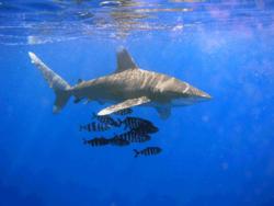 Requin longimane accompagné de poissons pilotes
