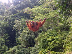 L'orang-outan dispose de membresantérieurs exceptionnellement longs parrapport aux postérieurs.Démuni de queue préhensile, il peutnéanmoins marcher en position bipèdesur des branches étroites en se servantde ses bras pour s'équilibrer.