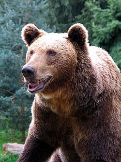 Ours brun, Parc animalier des Pyrénées, 2005