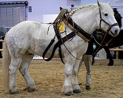 Cheval percheron (Equus caballus)
