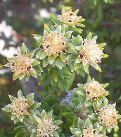 Les minuscules fleurs sommitales de Phylica nitida