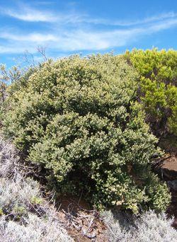 Buisson d'ambaville bâtard caractéristique des fourrés éricoïdes de montagne