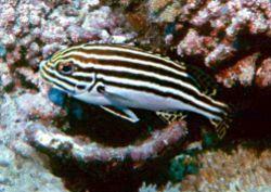 Plectorhinchus orientalis
