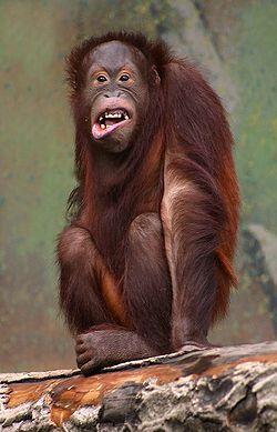 Jeune orang-outangL'animal est capable de produire denombreuses et complexes mimiques
